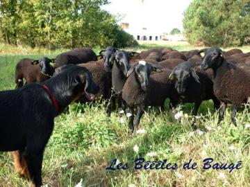 beauceron au troupeau