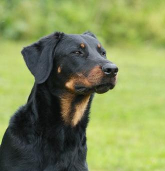 jolie chienne beauceron