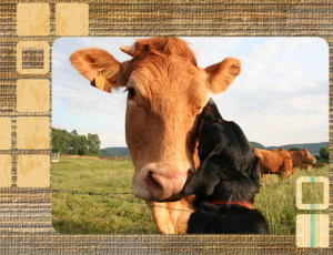 un beauceron et la vache