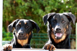 Beauceron, berger de beauce, bas rouge
